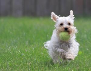 Votre chien est-il actif?