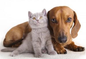 Les glandes anales du chat et du chien