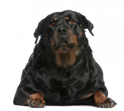 L'embonpoint chez votre chien