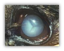 Cataracte complète - Chez les animaux