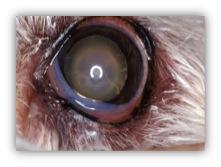Sclérose Nucléaire - Chez les animaux